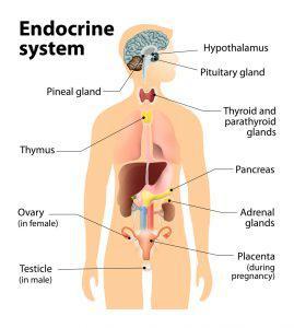 endocrine system 269x300 7952