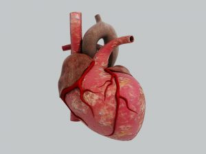 168502 heart blood vessels_436130443 300x225