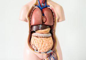 the human body 300x211